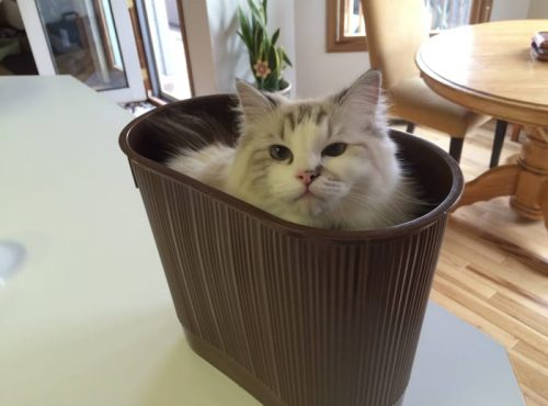 A fluffy white and grey cat sitting inside a plastic bucket