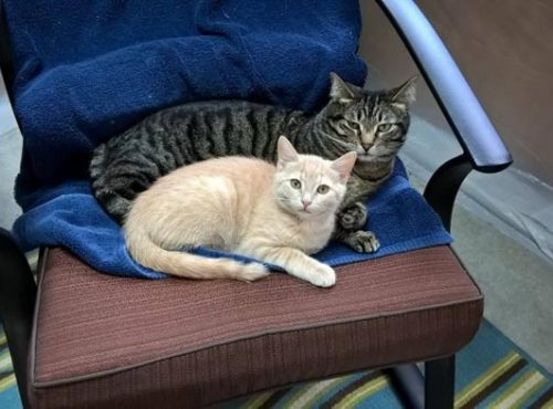A black and grey striped cat laying down on a chair next to a beige and white kitten