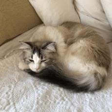 A fluffy white and grey cat named Cindy curled up and sleeping on the couch